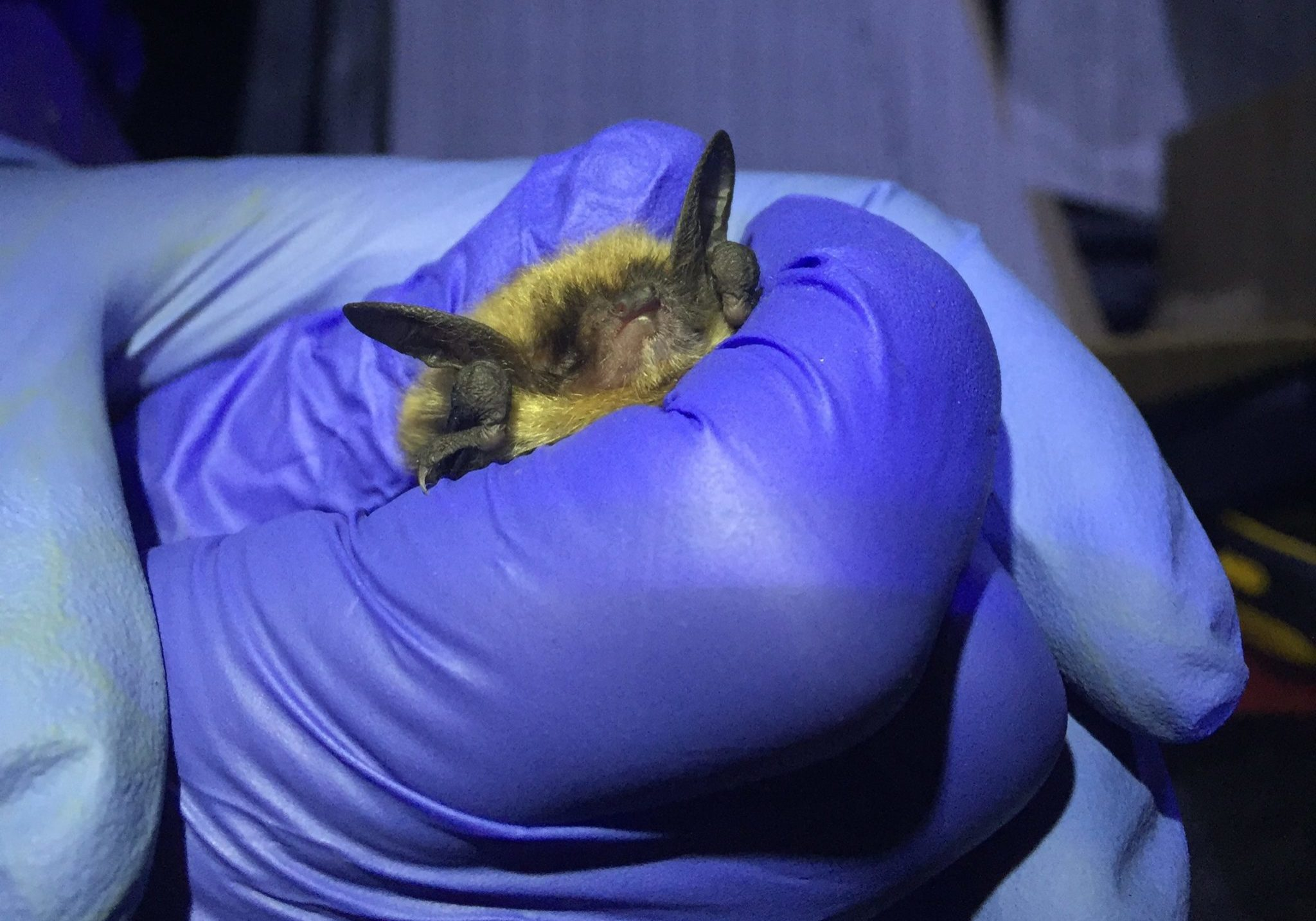 Adult female Northern long-eared bat captured on Nantucket