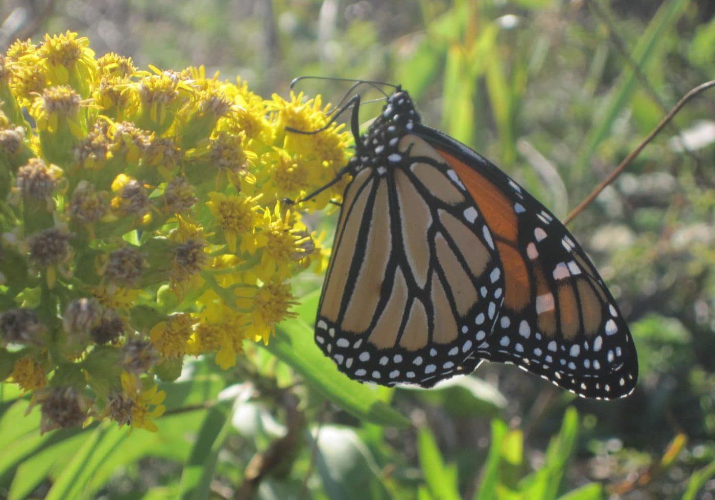 Monarch On Sol Sem