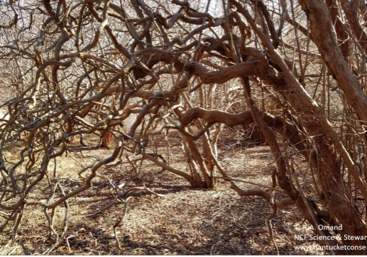 Exploring shrubs in winter gives you a chance to appreciate their structural beauty, such as the gnarled branches and spiraled trunks of this old growth high bush blueberry.