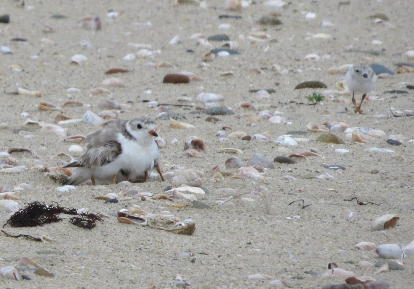 Piping Plover Chicks Eel Point 2017 By ECB