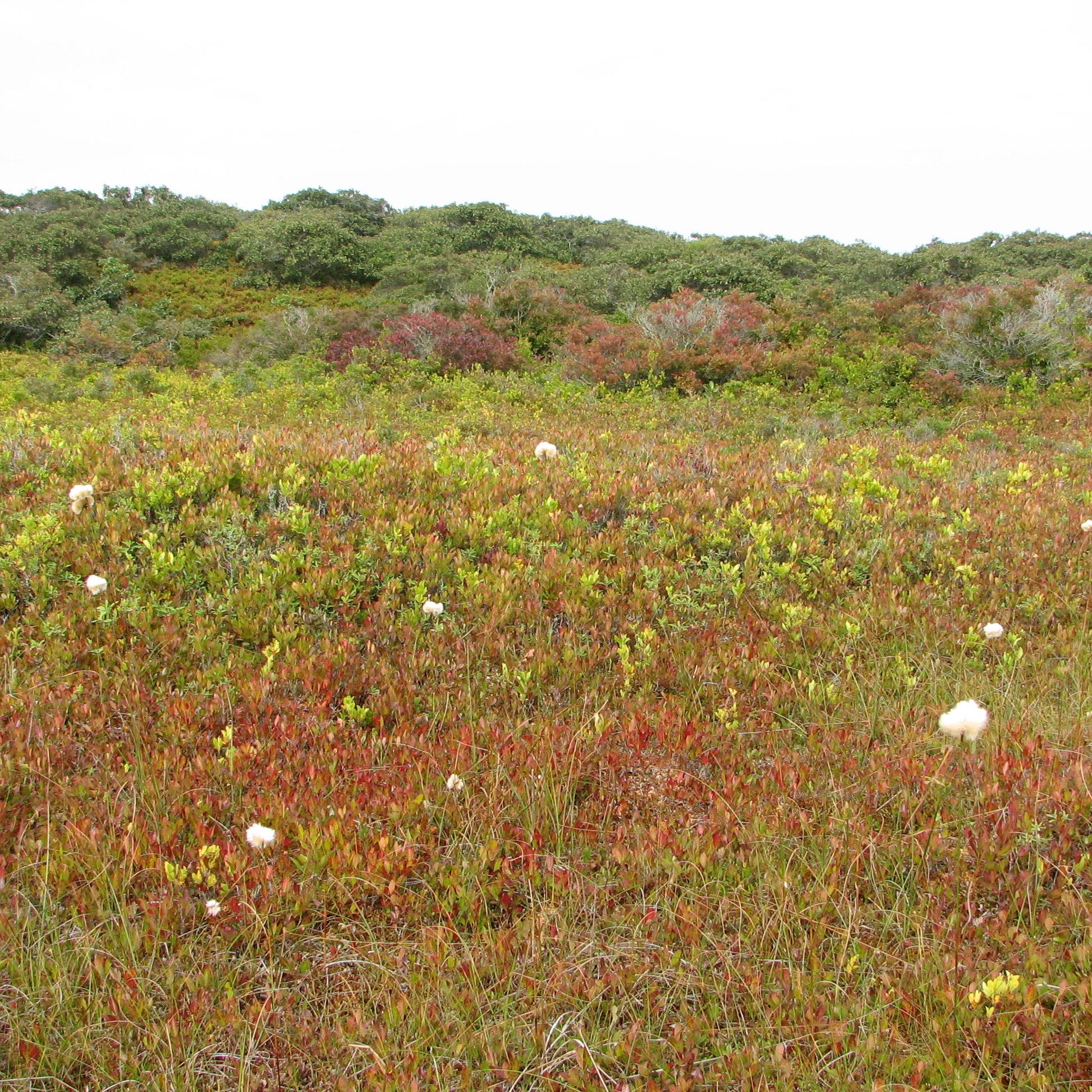 Slender cottongrass <em>(Eriophorum gracile)</em> at Donut Bog, Middle Moors