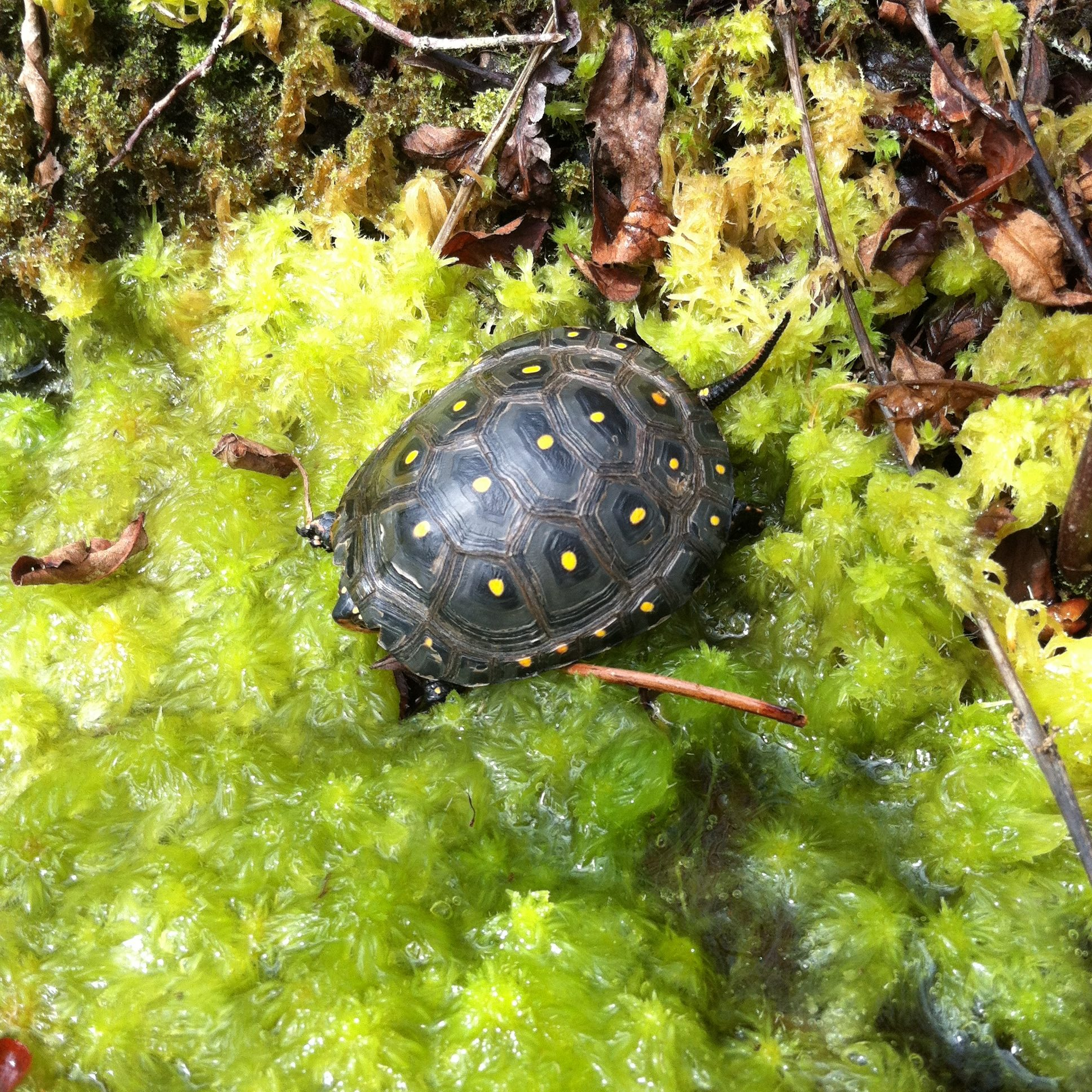 Spotted Turtle Juvenile